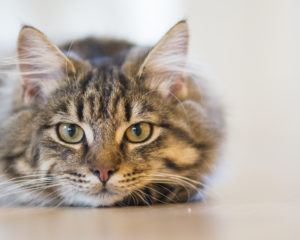Facts You Must Know About Munchkin Cats